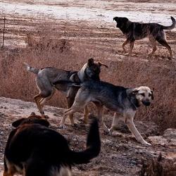 Des chiens errants sauvent une petite fille d'un violeur dans Actualité chiens-errants